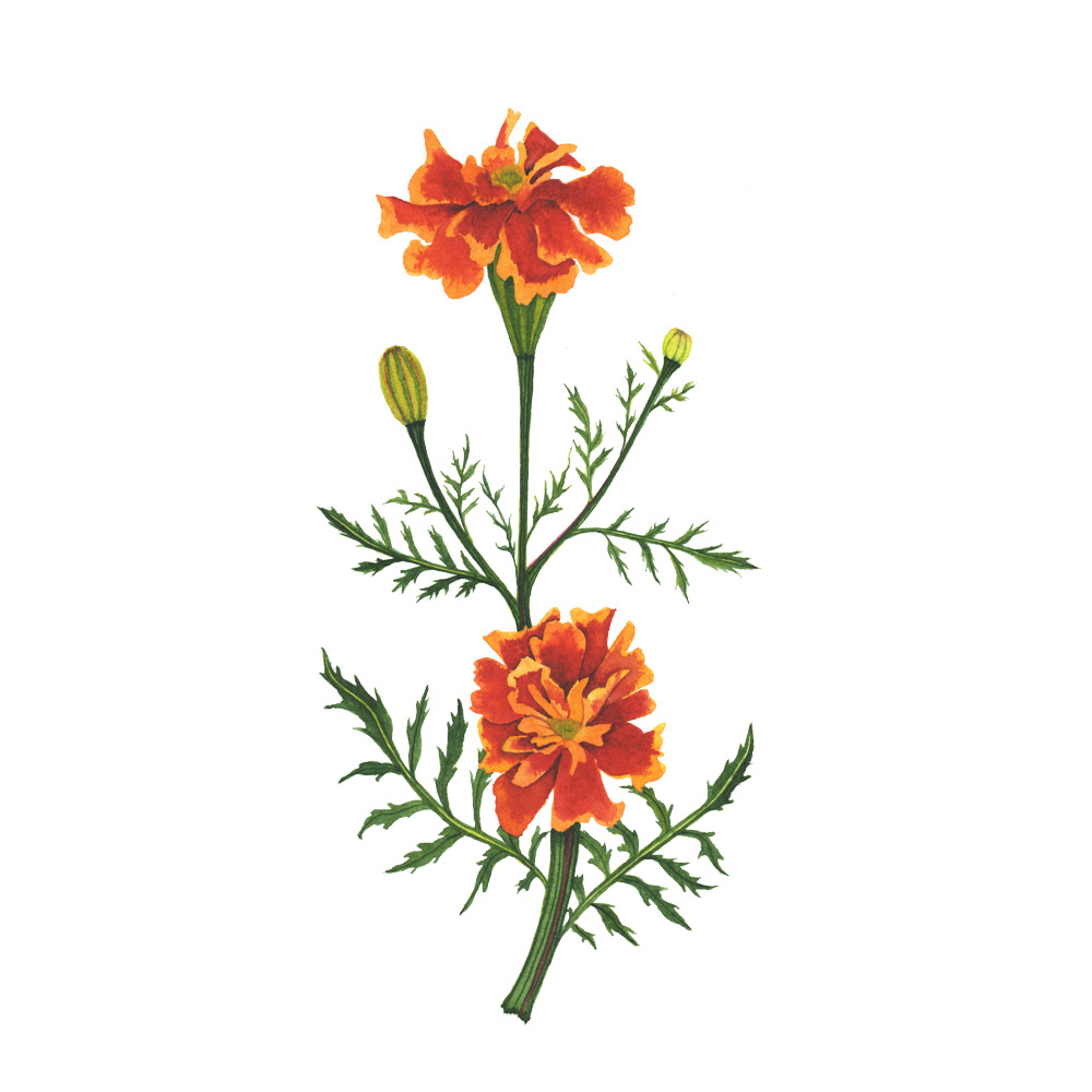 Orange Marigolds Watercolor Painting