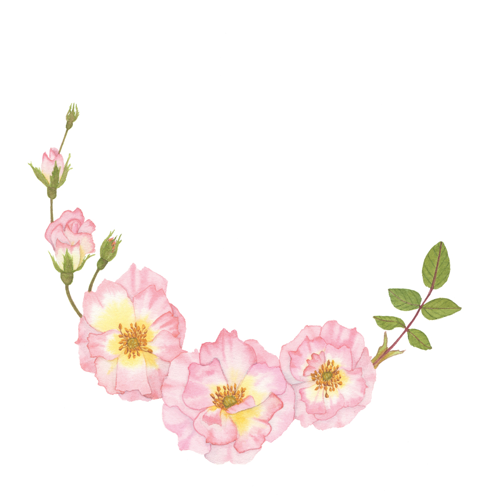 pink roses watercolor wreath my giant strawberry