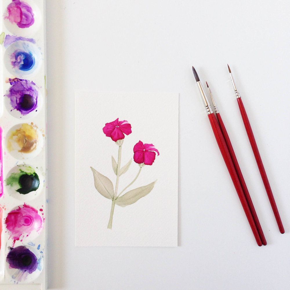 Watercolor Painting of Rose Campion by Anne Butera