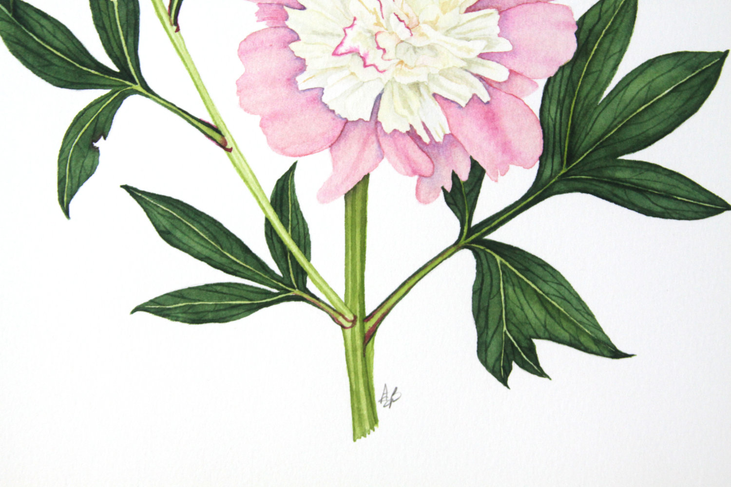 Pink And Yellow Peony Watercolor Painting My Giant Strawberry