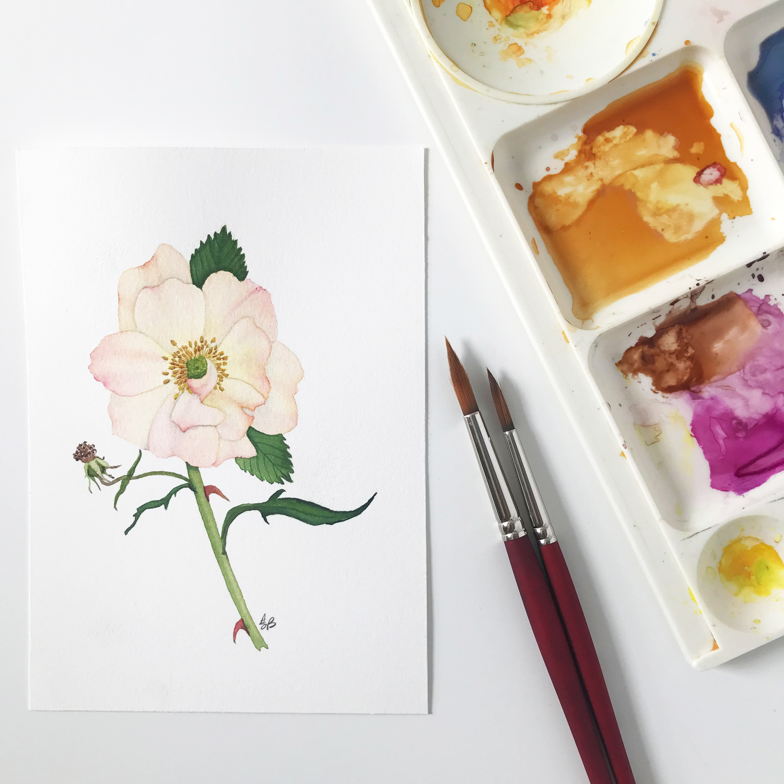 Delicate Peach Rose Watercolor Painting My Giant Strawberry
