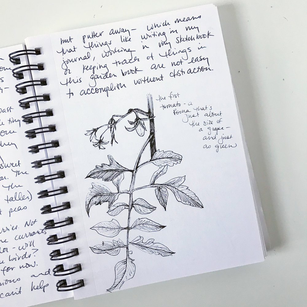 A Page From My Garden Journal Sketchbook Capturing the Joy of Tomatoes Developing in My Garden by Anne Butera of My Giant Strawberry