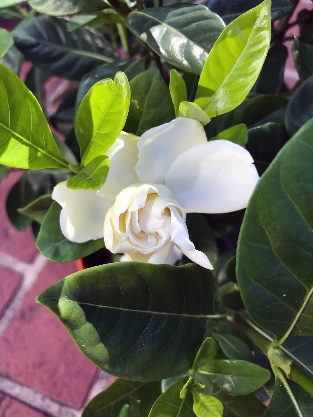 A Gardenia Flower Unfurling in the Garden of Botanical Watercolor Artist Anne Butera
