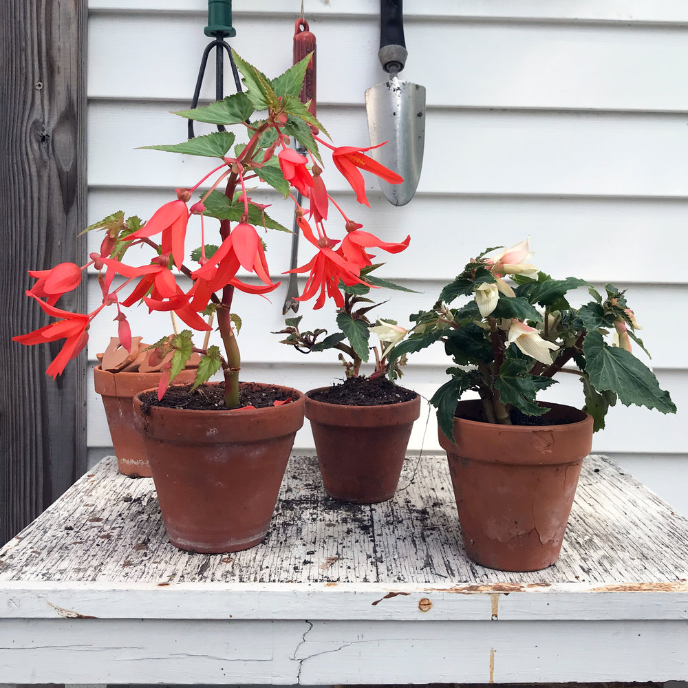 Begonia Boliviensis Plants on My Potting Table