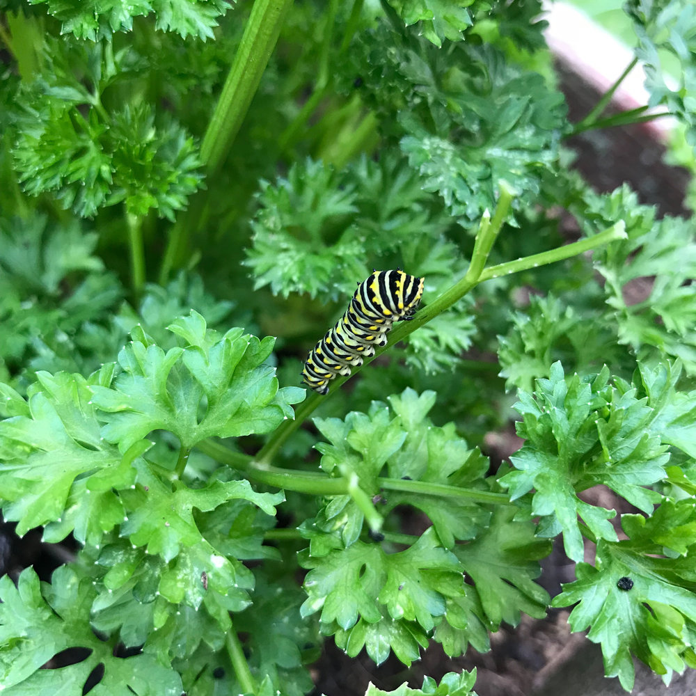 A Developing Black Swallowtail Caterpillar on the Parsley in My Garden