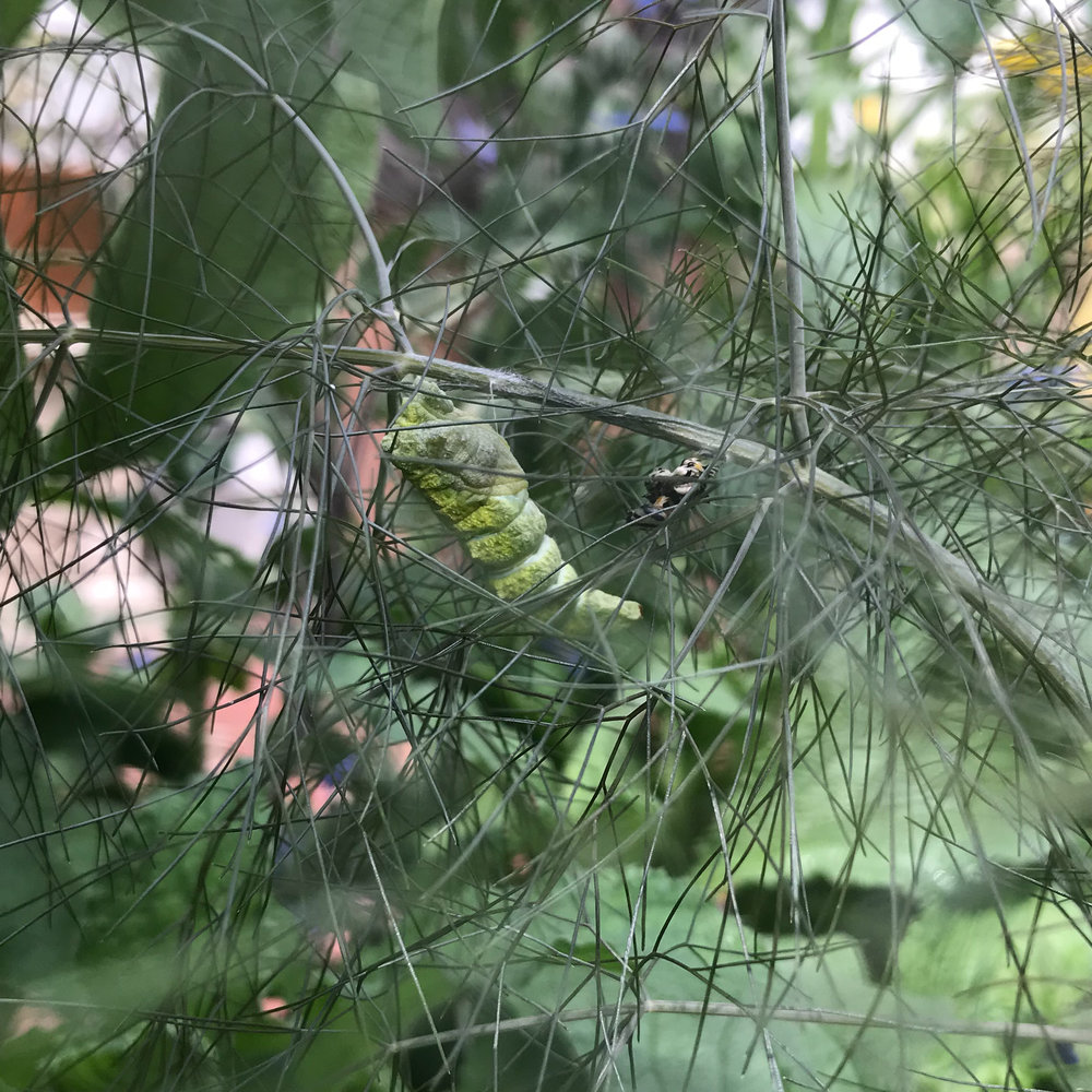 A Black Swallowtail Chrysalis Attached to a Stem of Fennel in My Garden