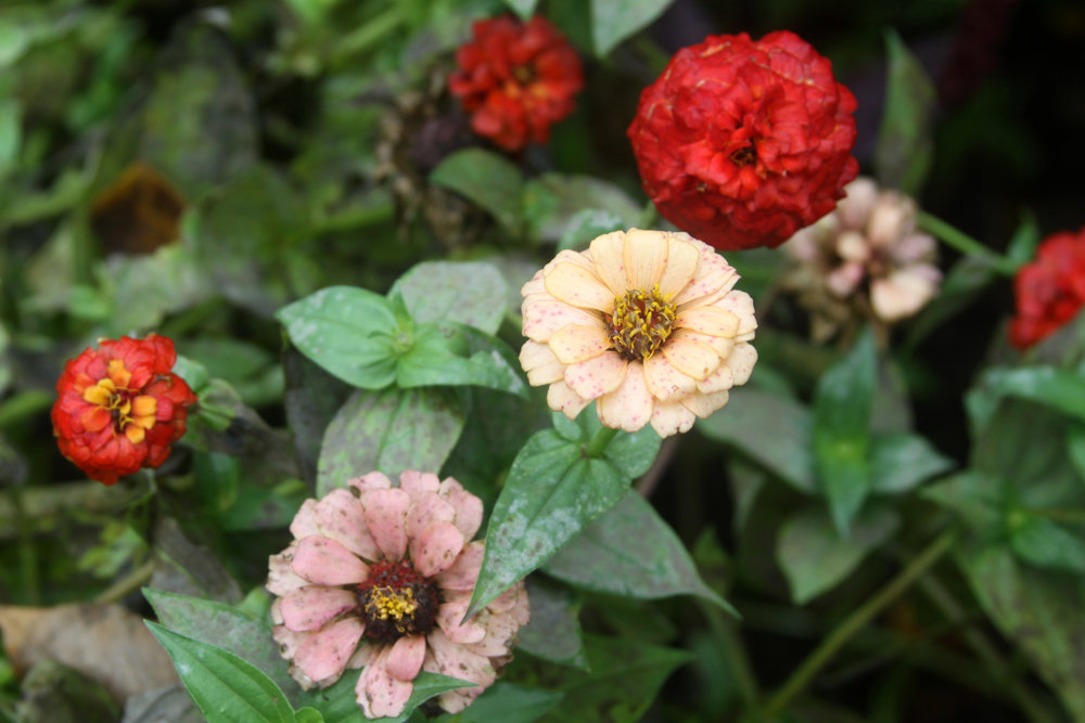 Zinnias in My Autumn Garden