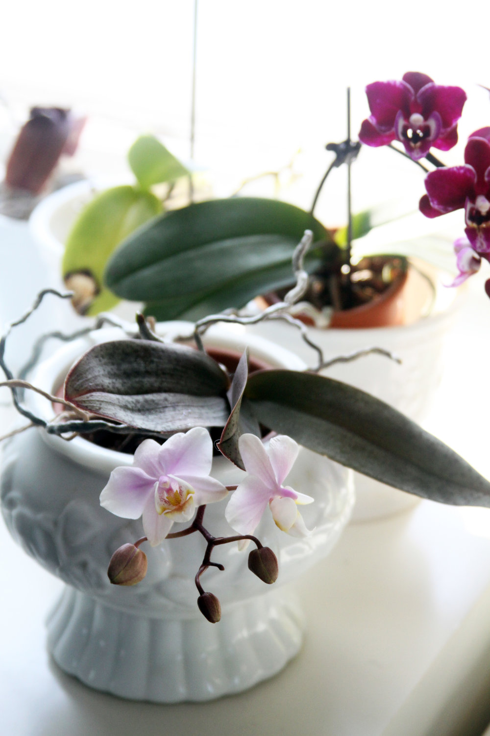 Orchids Blooming in My Studio Brighten the Winter Dreariness and Provide Inspiration for my Art