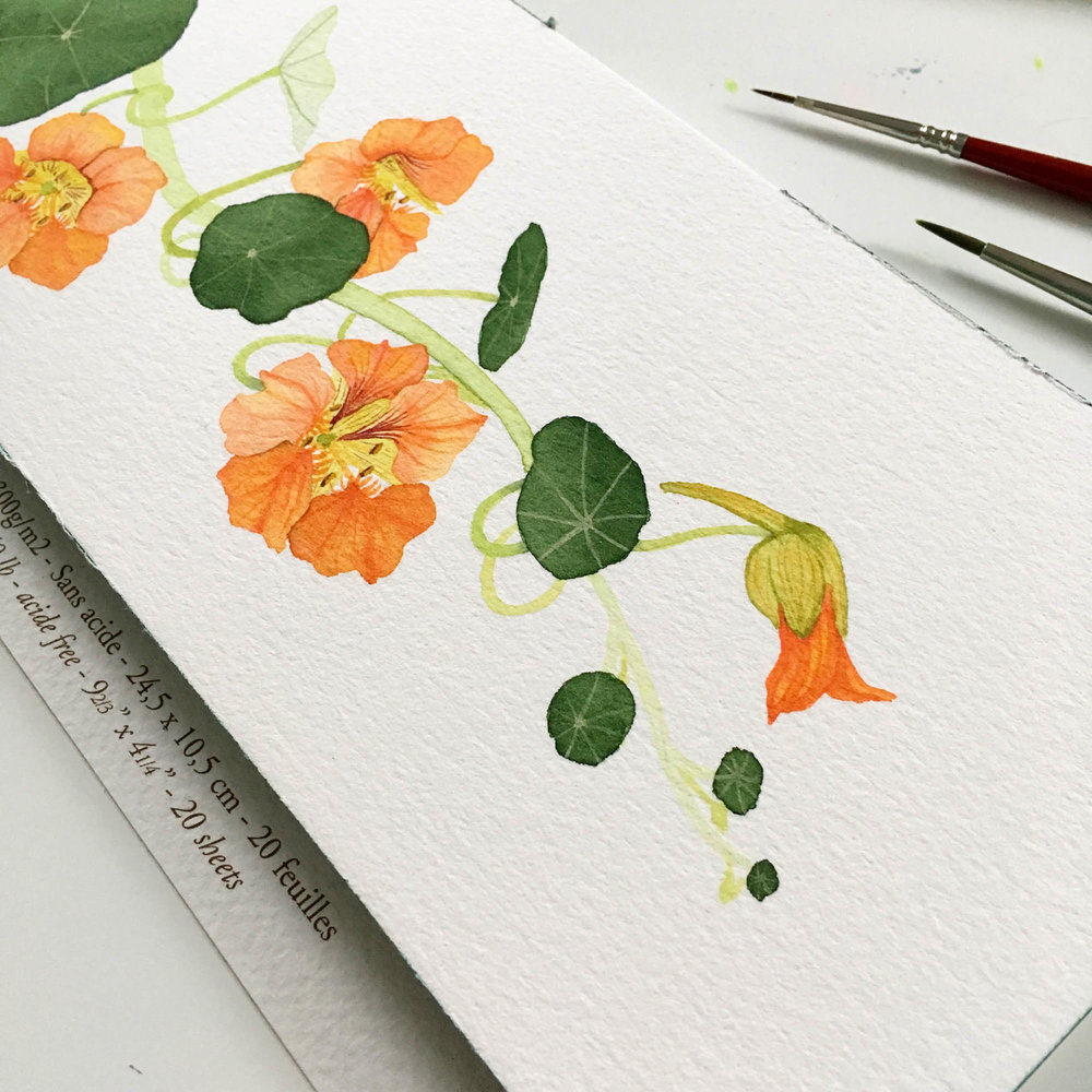 The Humble Nasturtium is one of Anne Butera's Favorite Subjects for her Botanical Watercolor Paintings