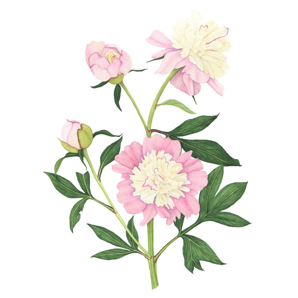 Pink and Yellow Peony Watercolor Painting