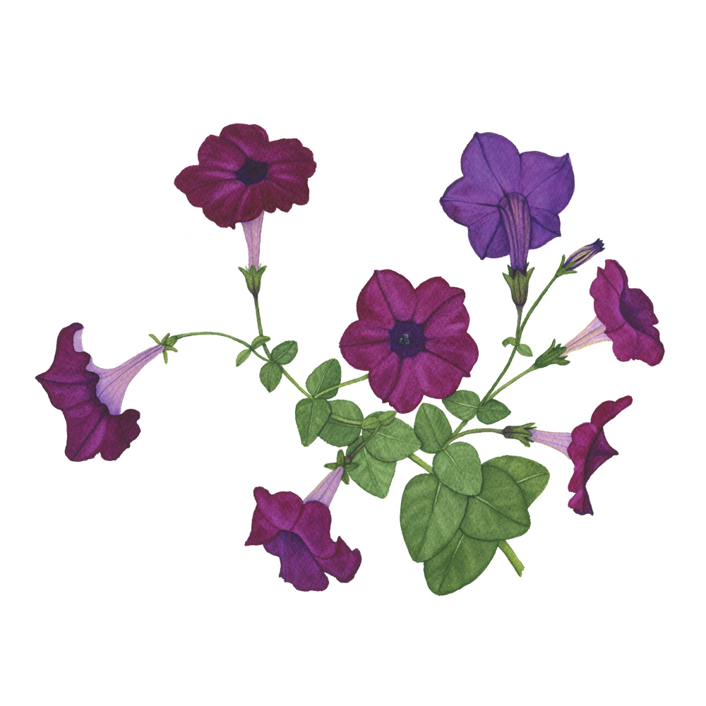 Purple Petunias Watercolor Painting