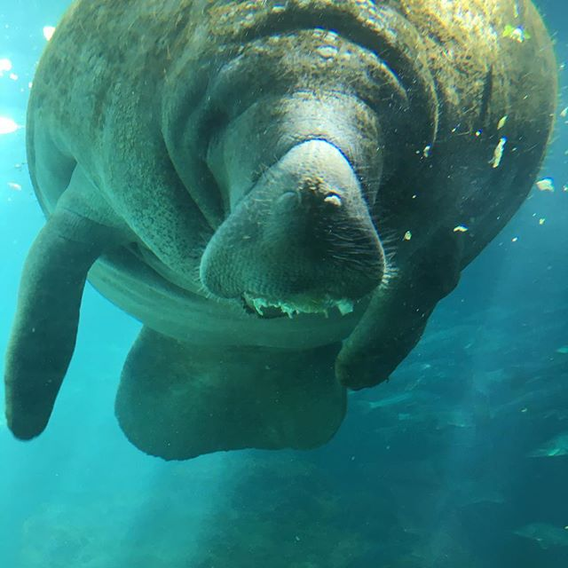 On our way to Cedar Key yesterday, I got to stop and have lunch with this beautiful manatee. It turns out the Homasassa Springs pump out 65 million gallons of water a day and provide a stable water temperature for the manatees. I just love exploring this amazing state!  #bigkid #lovemylife #florida #saltlife #manatee #nature