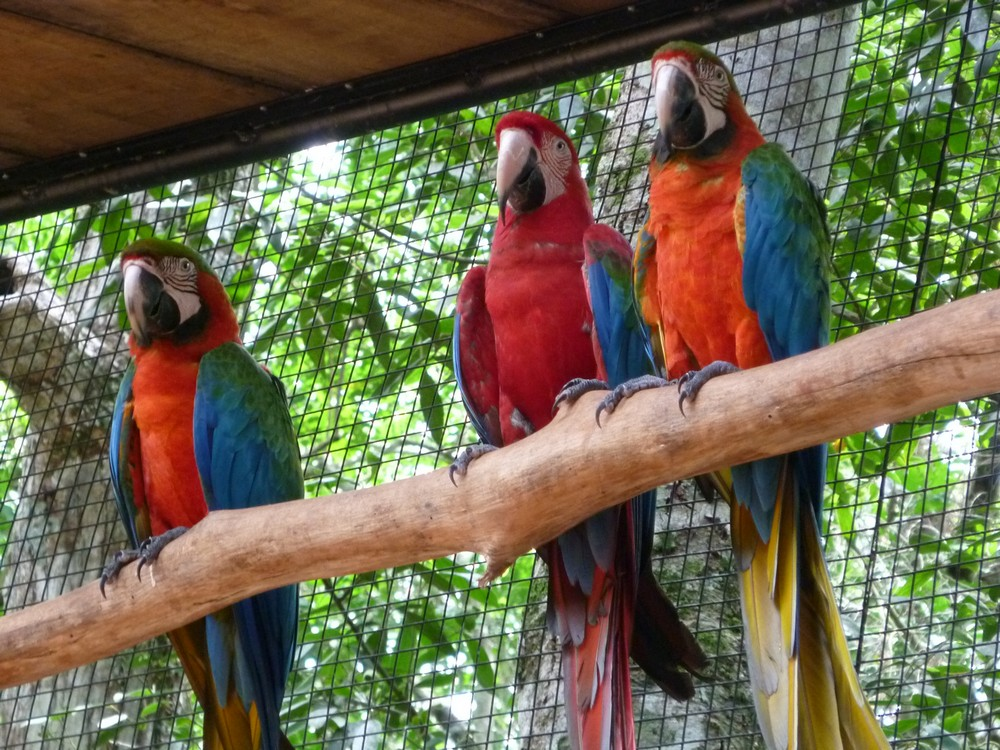 Three of the DOZENS of macaws in the park