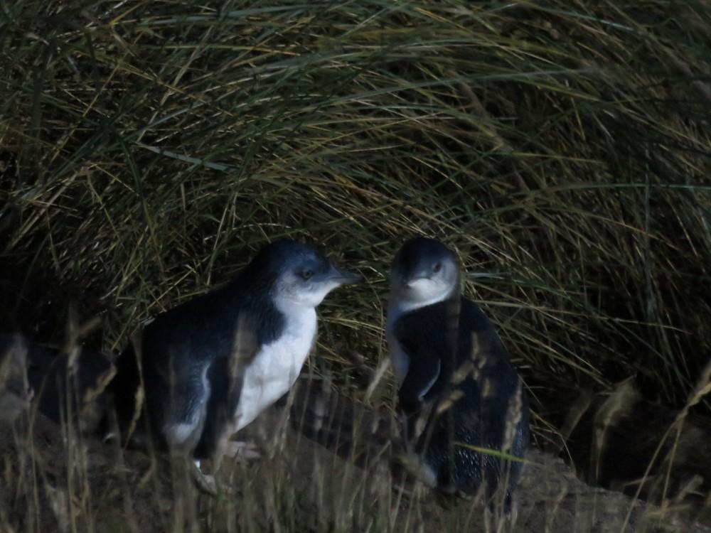 Tiny blue penguins!
