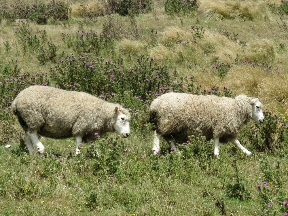 Mmmmm...lamb....