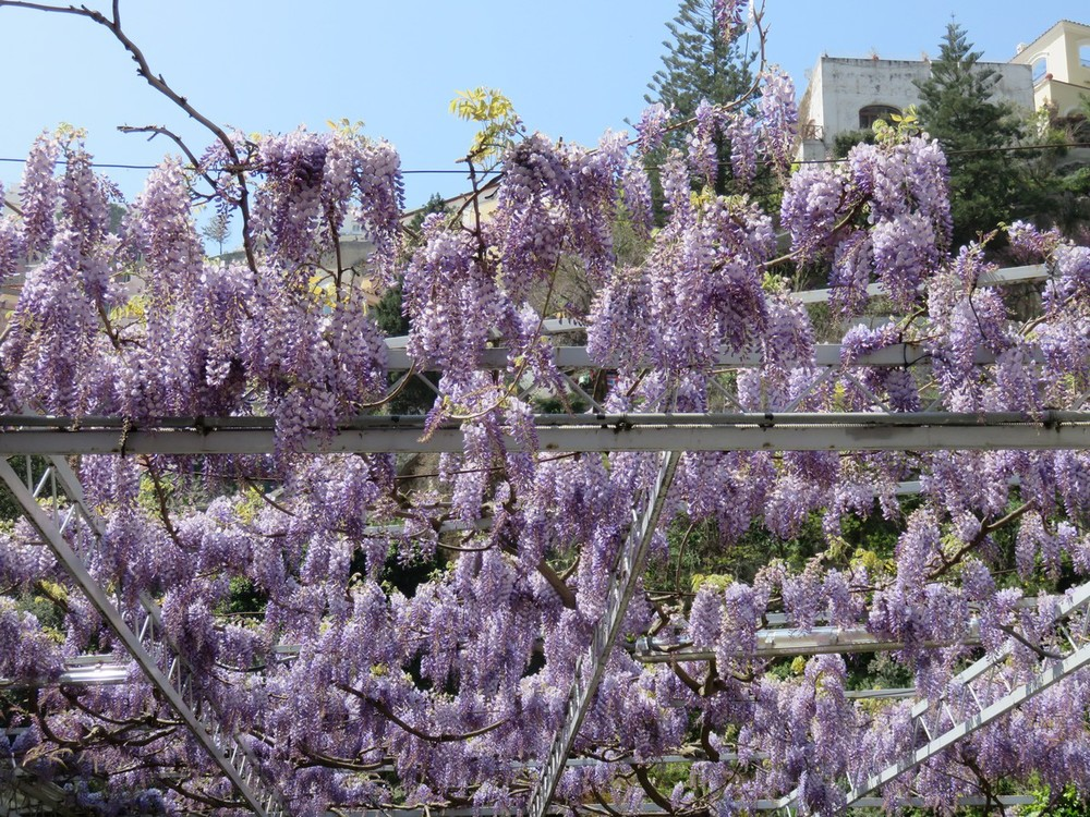 These wisteria are REAL!