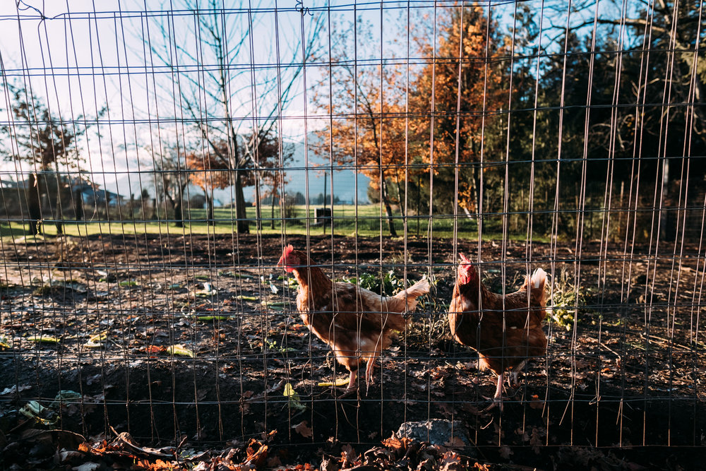 chickens behind fence in fraser valley chilliwack at sunset photo