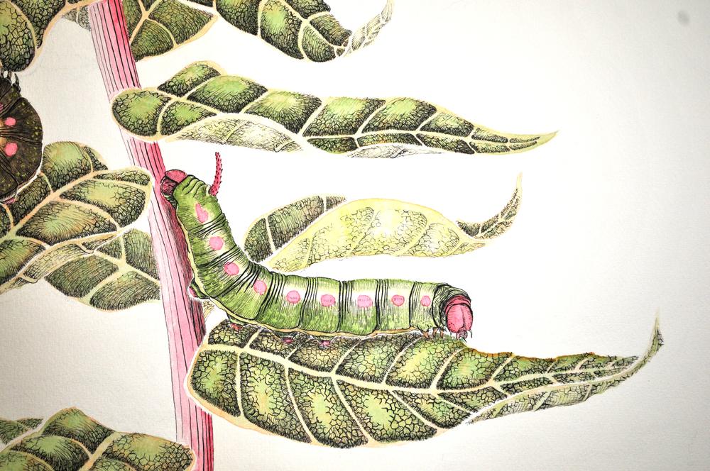 angustifolium gallii excerpt