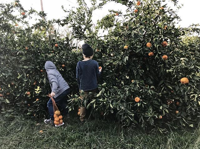 We had a fun day picking mandarins @sunsetridgefinefruits