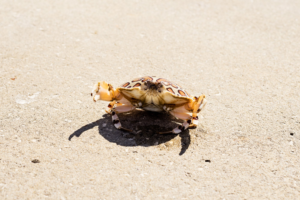 Crabs make for an interesting catch. The fisherman opted not to keep this calico crab and tossed it back in to the water.