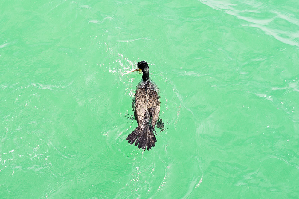 Luckily for this cormorant he did not have to wait very long for a fish to be thrown back in the water.