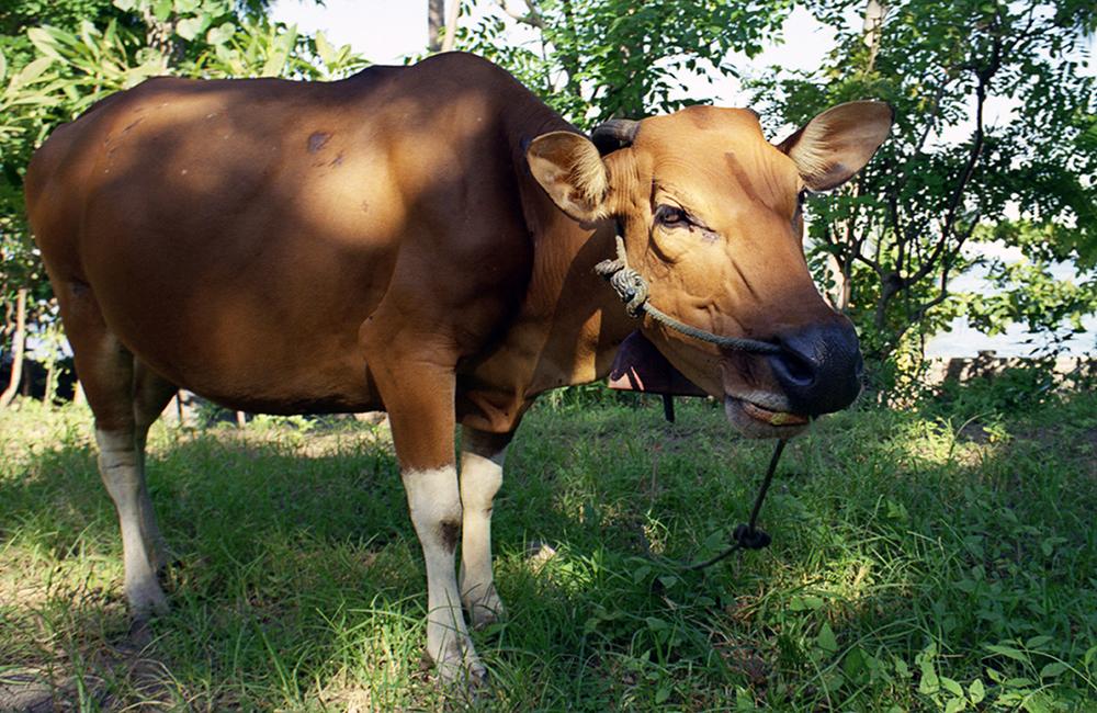 bali-cow001.jpg