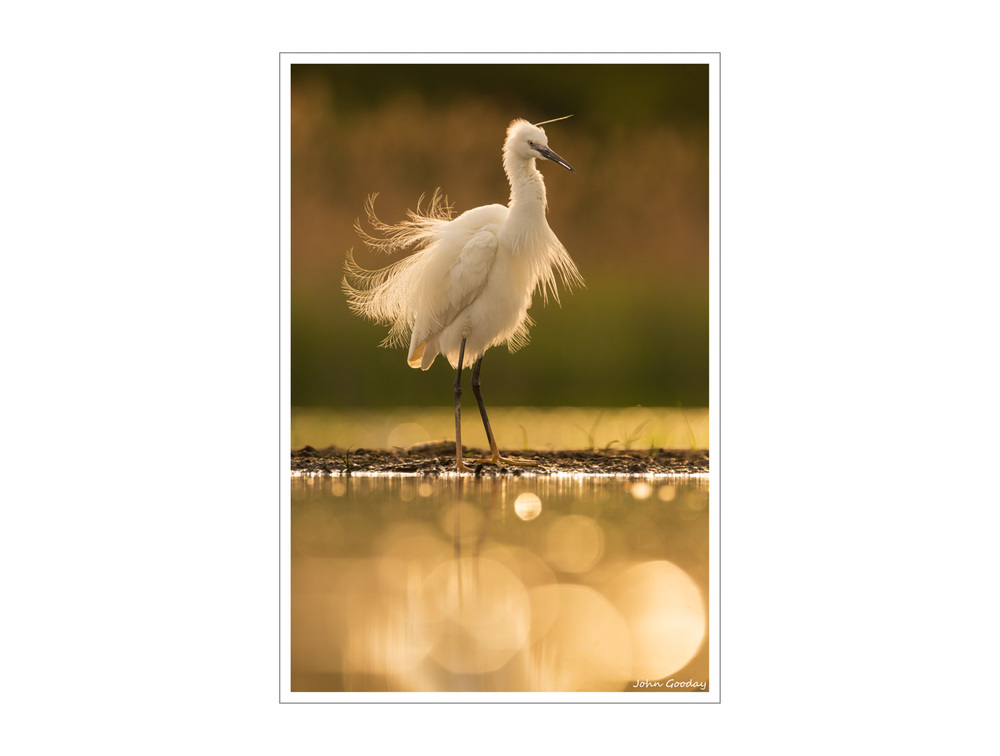 Little Egret back-lit in late afternoon sunlight.   Canon EOS 5D Mark III, EF300mm f/2.8L IS + 1.4x III, 1/2000 sec @ f/5, ISO 1250, tripod, hide