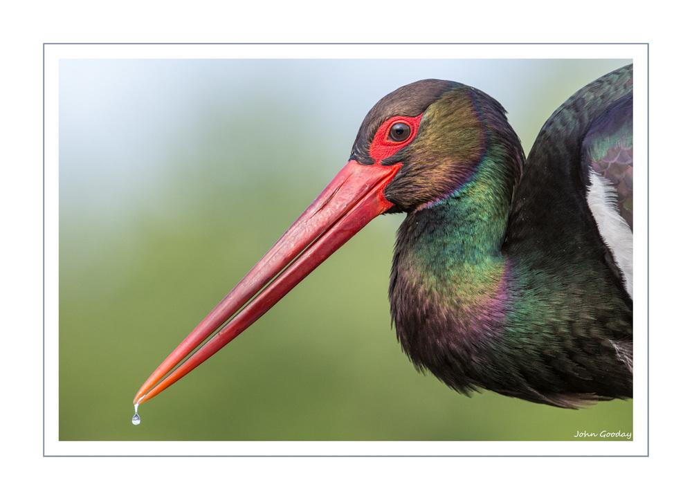 (Image: Black Stork, Kiskunsagi National Park, Hungary. Canon EOS 1DX, EF300mm f/2.8L IS, 1/1250 sec @ f/4.5, ISO 1000, tripod, hide)