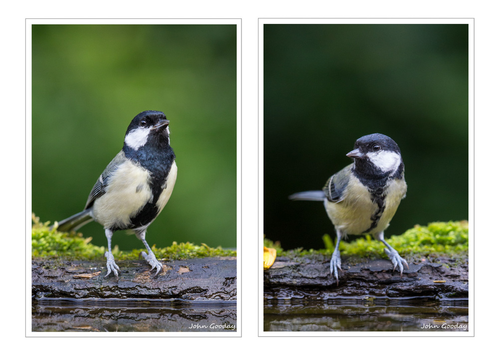 (Images: LEFT (male)  - Canon EOS 1DX, EF500mm f/4L IS with 12mm extension tube, 1/640 sec @ f/5, ISO 1600, tripod, hide; RIGHT (female) - Canon EOS 1DX, EF500mm f/4L IS with 12mm extension tube, 1/320 sec @ f/3.5, ISO 2000, tripod, hide )