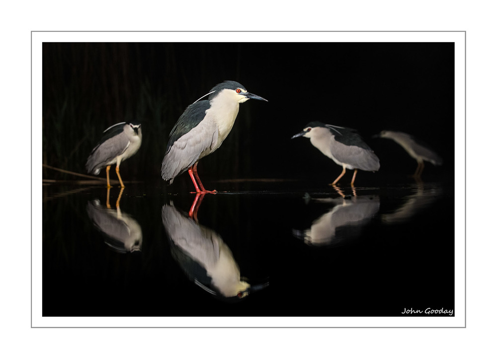 (Image: Black-crowned Night Herons stand motionless waiting for fish to swim within striking distance. Canon EOS 1DX, EF70-200mm f/2.8L IS II, 1/800 sec @ f/4, ISO 2500, tripod, hide)