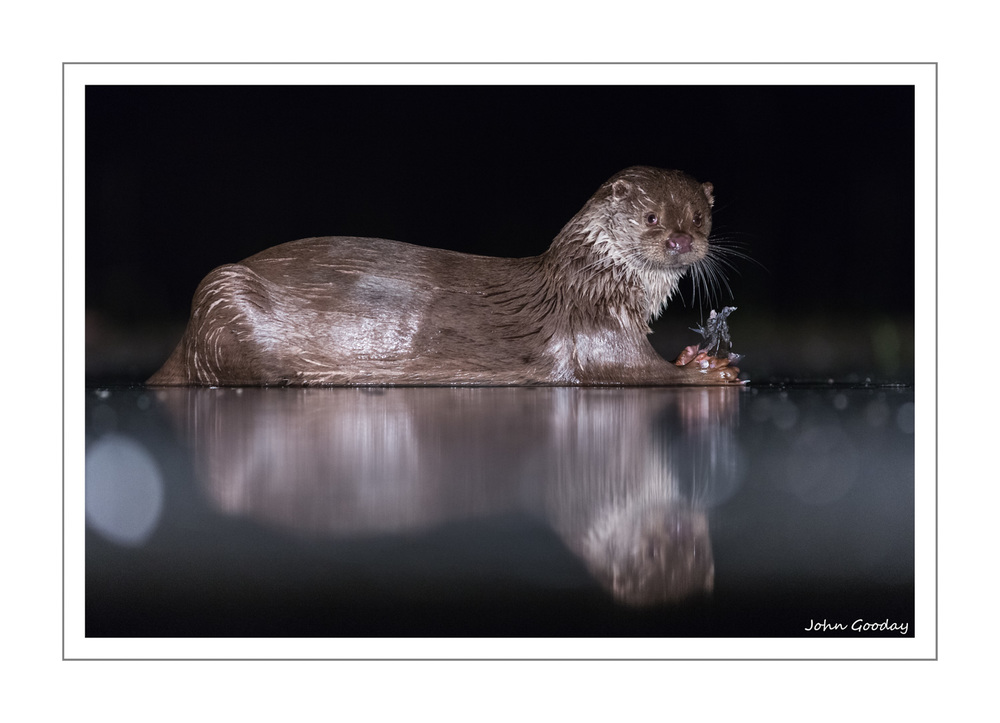 (Image: A surprise visit from a European River Otter. Canon EOS 5D Mark III, EF 300mm f/2.8L IS, 1/200th sec @ f/2.8, ISO 3200, tripod, hide)