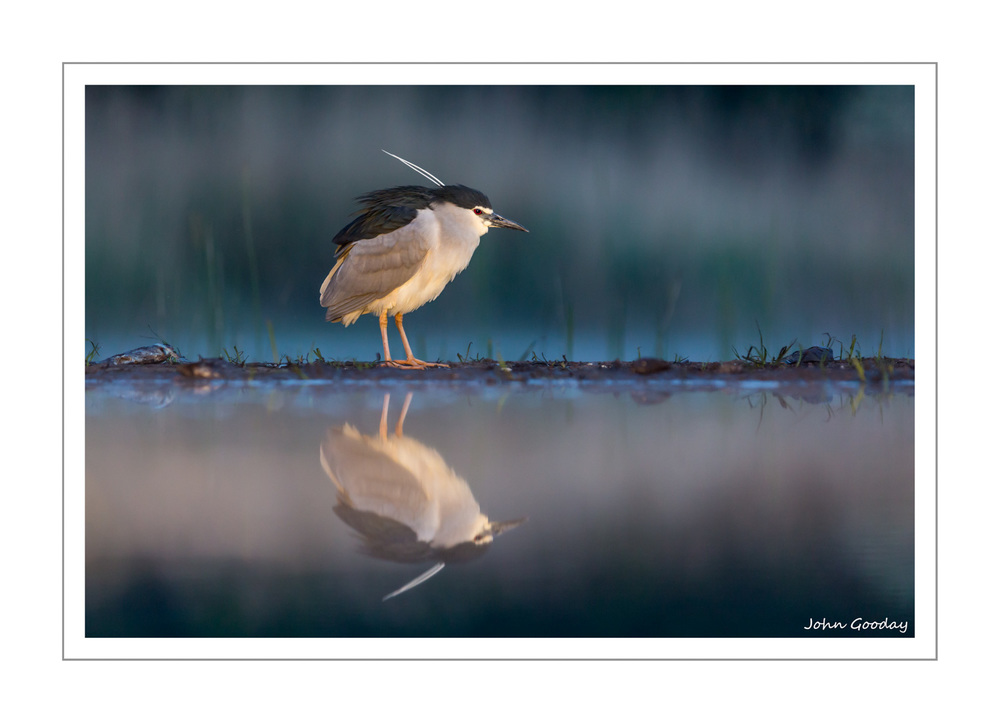 (Image: A solitary Night Heron just before dawn. Canon EOS 5D Mark III, EF300mm f/2.8L IS, 1/320 sec @ f/3.5, ISO 1250, tripod, hide)