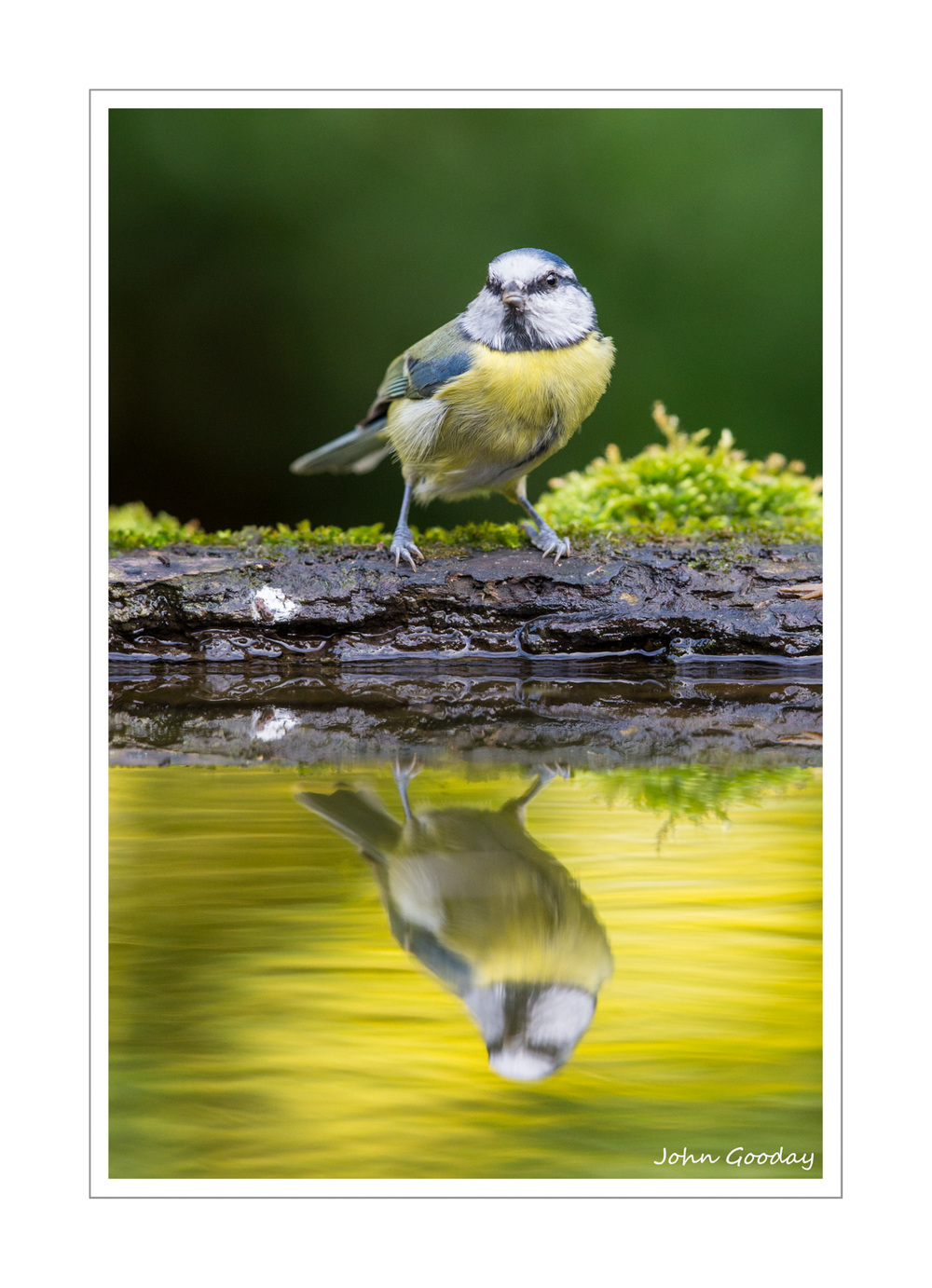 (Image: Blue Tit reflected in the water tray. Canon EOS 1DX, EF500mm f/4L IS II + 12mm extension tube, 1/640 sec @ f/5, ISO 1600)