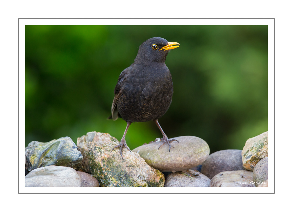 (Image: Male Blackbird standing on pebbles at the far end of the tray.  Canon EOS 5D Mark III, EF500mm f/4L IS II, 1/160 sec @ f/7.1, ISO 1600, tripod, hide)