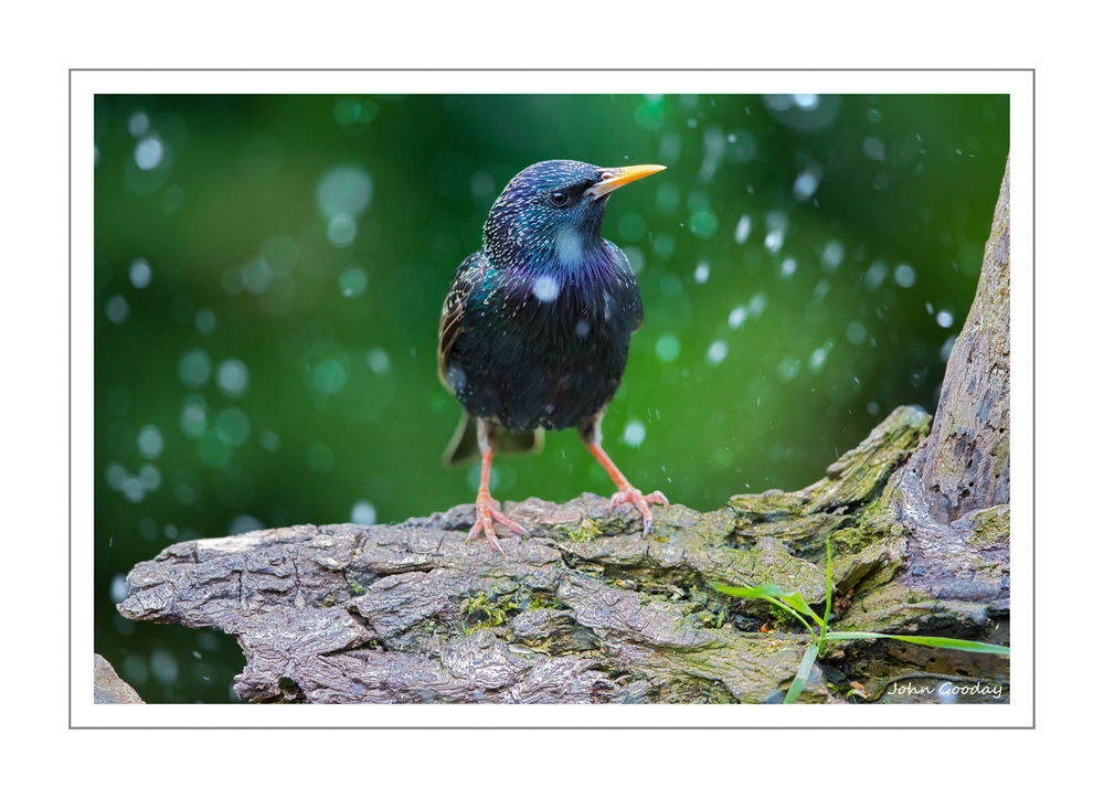 (Image: The 'raindrops' around this Starling are actually splashes from other birds bathing in the tray below. Canon EOS 5D Mark III, EF500mm f/4L IS II, 1/320 sec @ f/4.5, ISO 1250, tripod, hide)