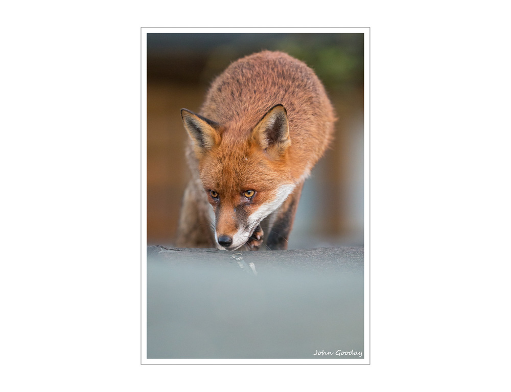 (Image: Urban Fox on the prowl. Canon EOS 1DX, EF500mm f/4L IS II. 1/320 sec @ f/4, ISO 5000)