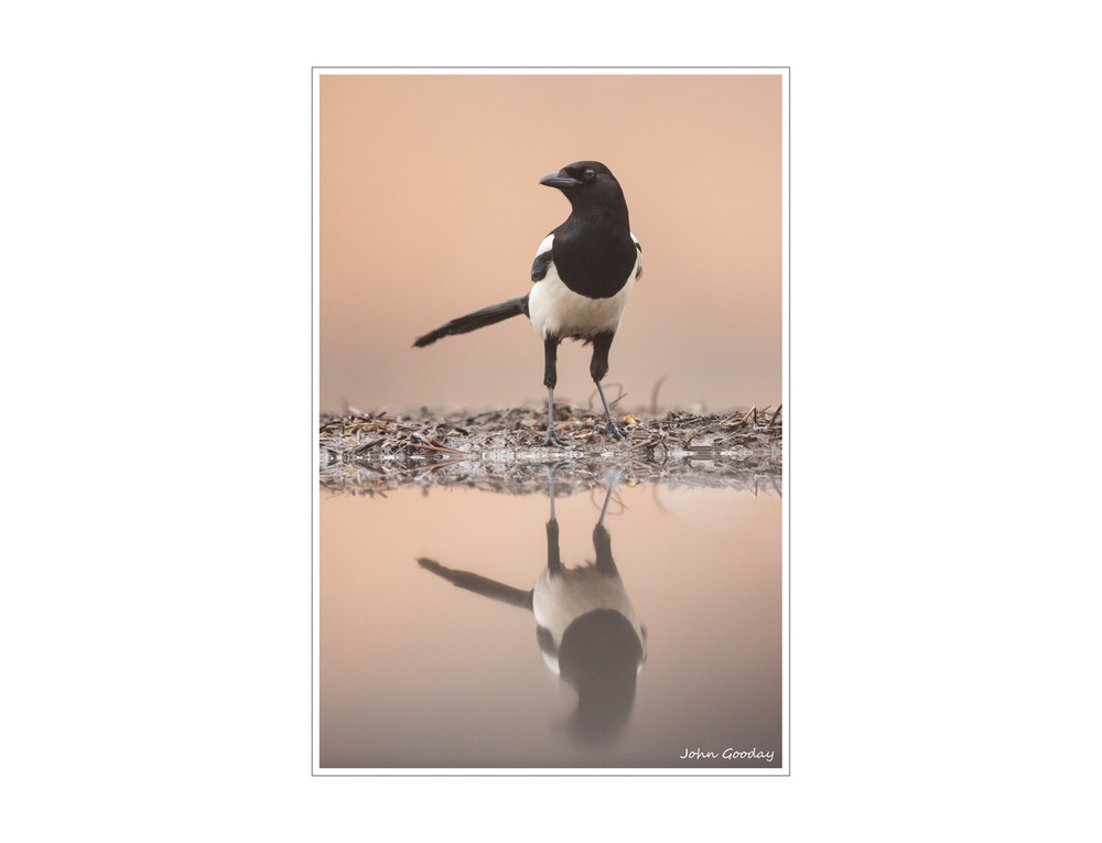 Image: A Magpie in very early morning light. A very pastel image.  Canon EOS 5D Mark III, EF300mm f/2.8L IS + 1.4x III, 1/1600 sec @ f/5, ISO 1600, tripod, hide
