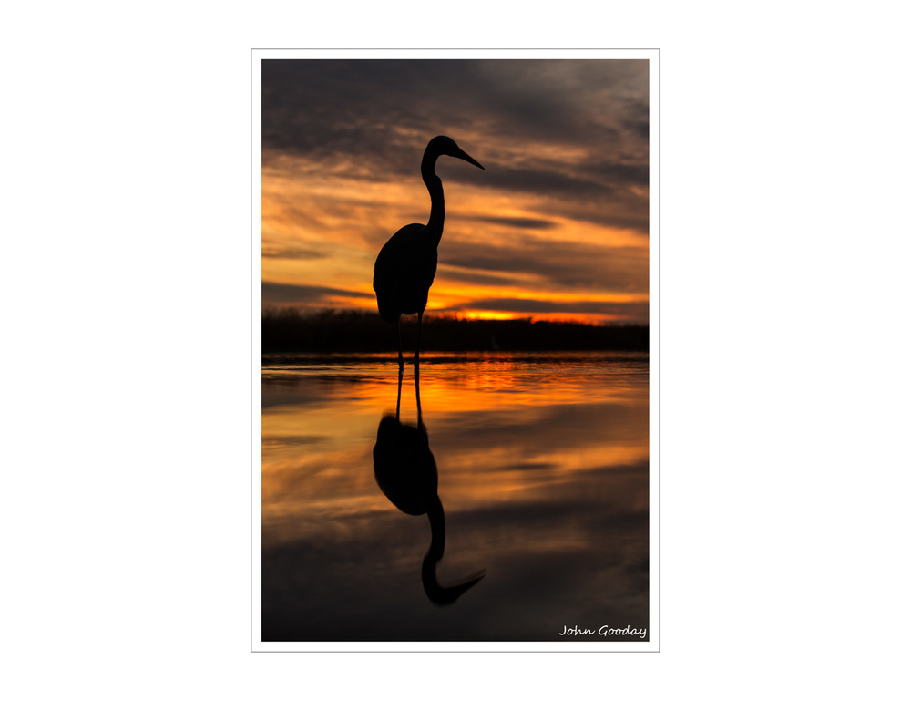 Image: A Grey Heron just after sunset.. Canon EOS 5D Mark III, EF70-200mm f/2.8L IS II, 1/400 sec @ f/4.5, ISO 800, tripod, hide.