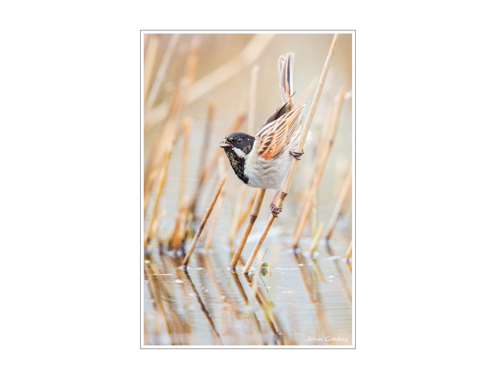 A Male Reed Bunting hanging about in... reeds, surprisingly. Taken at Rainham Marshes, Essex, UK. Canon EOS 5D Mark III, EF500mm f/4L IS II + 1.4x, 1400 sec @ f/6.3, ISO 1250, tripod