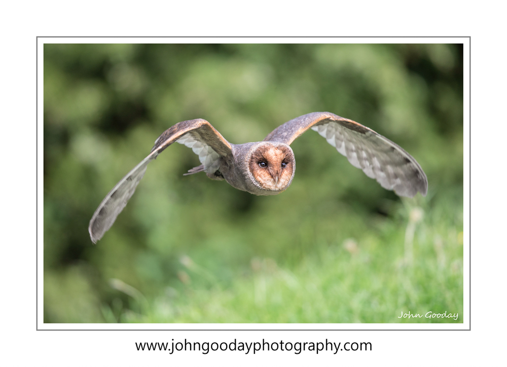 Dark morph Barn Owl- just one of the birds that we'll be photographing