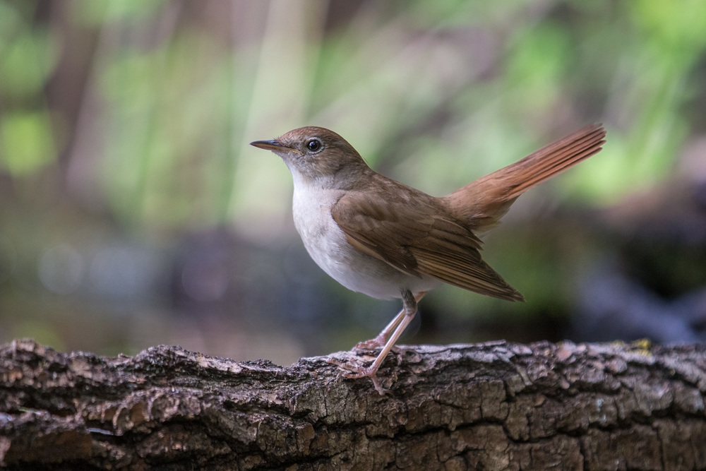 _70R7219 nightingale 16 bit AdobeRGB  Website.jpg