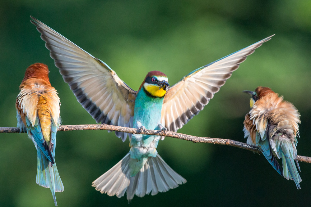 bee eater 16 bit sRGB  _70R0442  Website.jpg