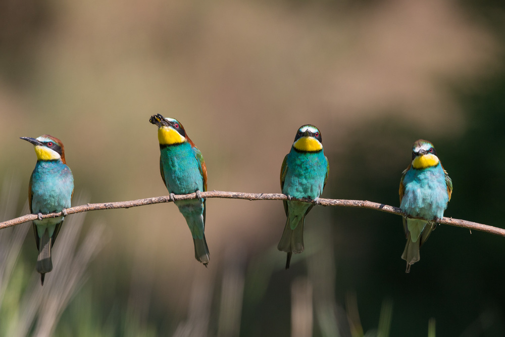 bee eaters 16 bit AdobeRGB  _70R8353  Website.jpg
