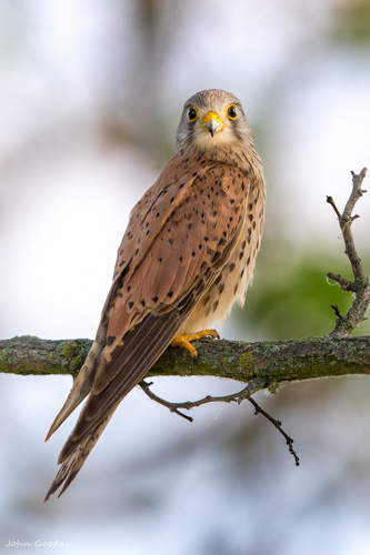 kestrel MASTER _70R6334  Website.jpg