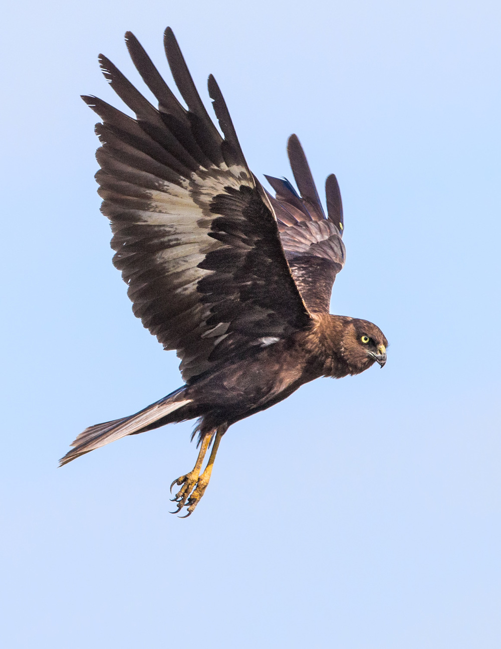 marsh harrier _70R3243  Website.jpg