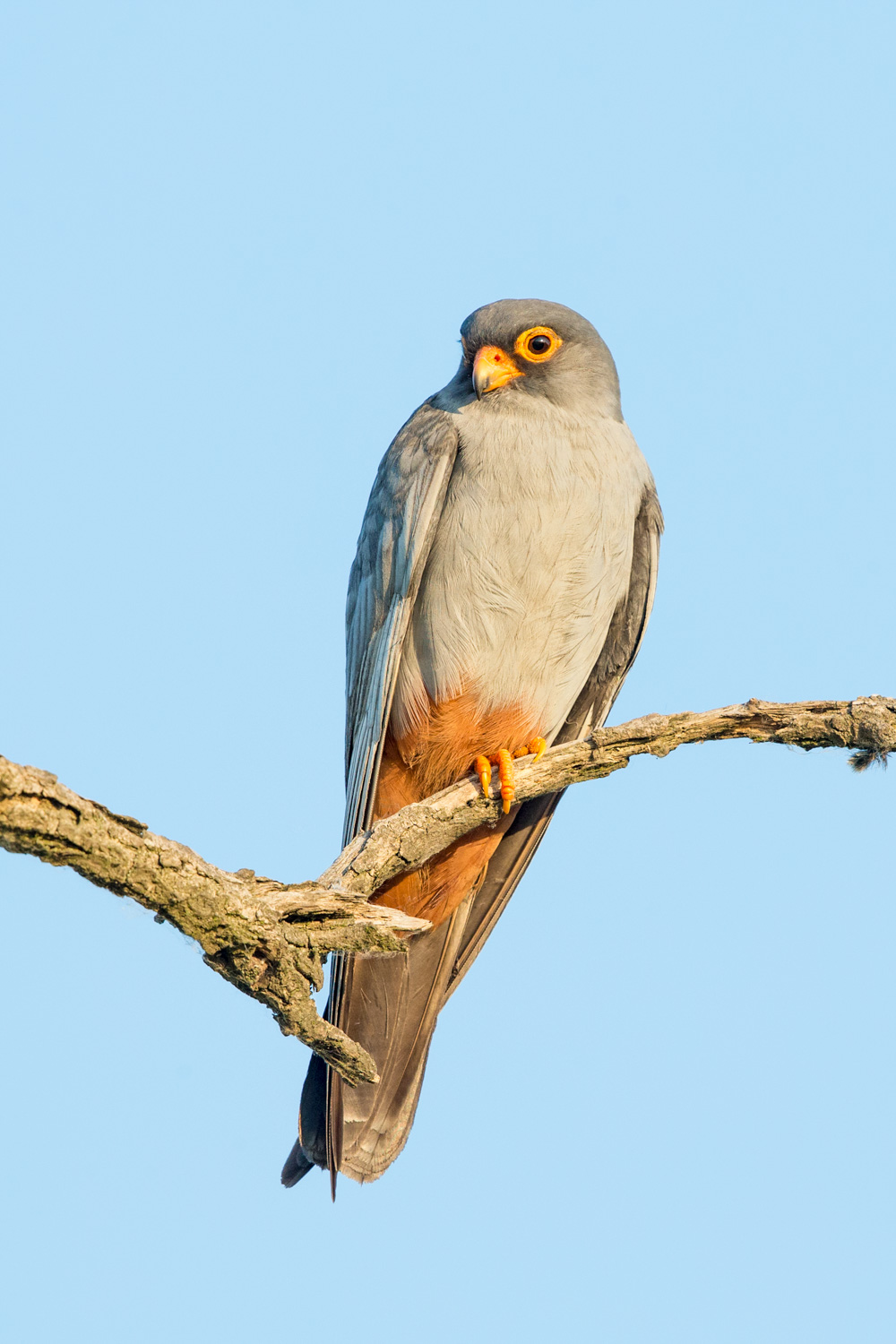 red-footed falcon 16 bit AdobeRGB _70R1671  Website.jpg