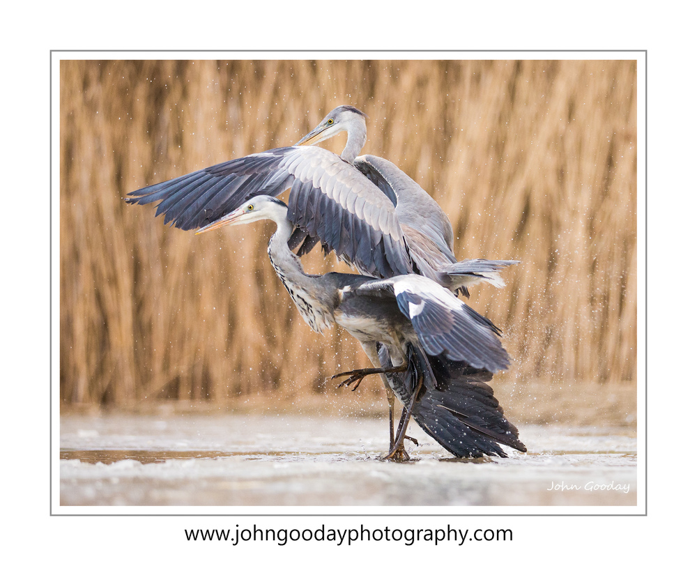 herons fighting WEBFRAME WEBTEXT _70R2225.jpg