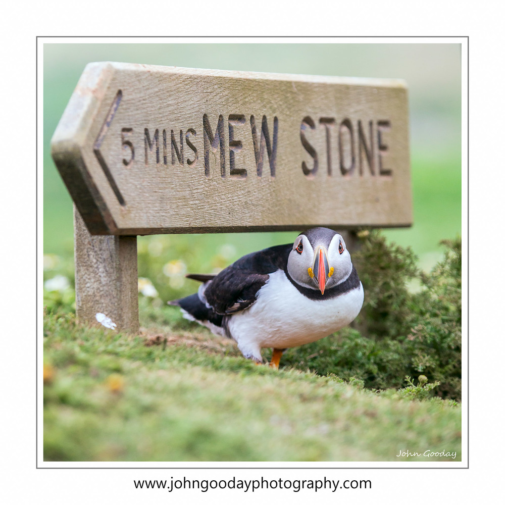 You're never far from a Puffin on Skomer. Canon EOS 1DX, EF70-200mm f/2.8L IS II, 1/2000 sec, f/5, ISO 800