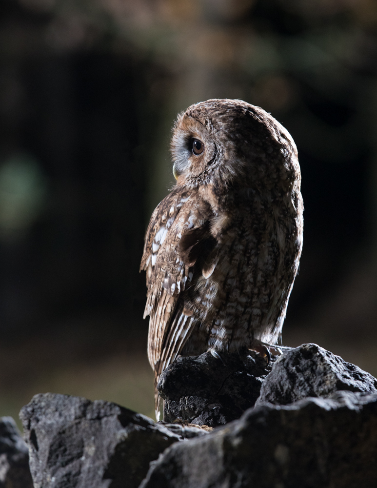 Another shot (this time a Tawny Owl) at the same location. The flash lighting the background trees has been reduced in power to make the trees a little darker than before.