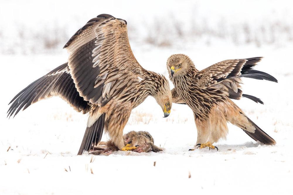 imperial eagles _70R2351.jpg